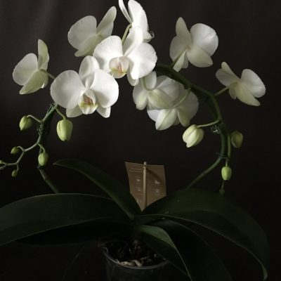 Orichidee Speigelorchidee